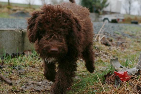 brauner italienischer Wasserhund